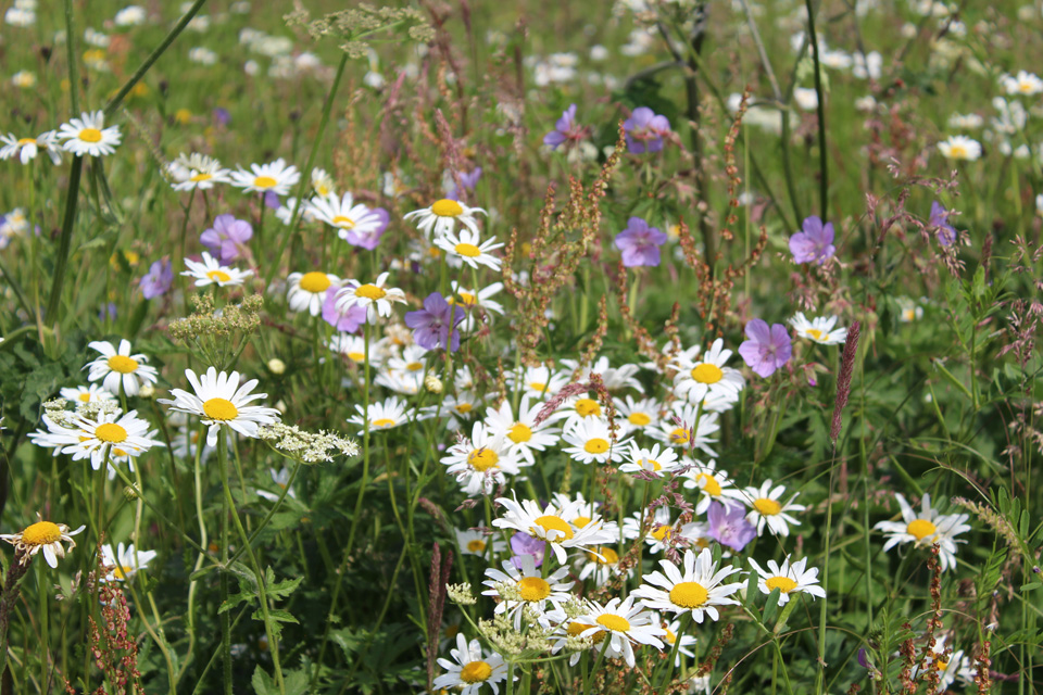 Ox eye daisies & Cranesbills in Wildflower Meadow