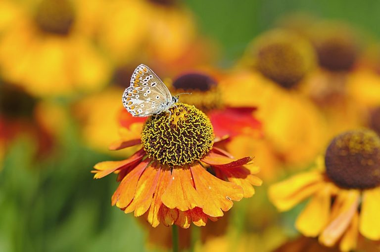 Common Blue butterfly and Helenium