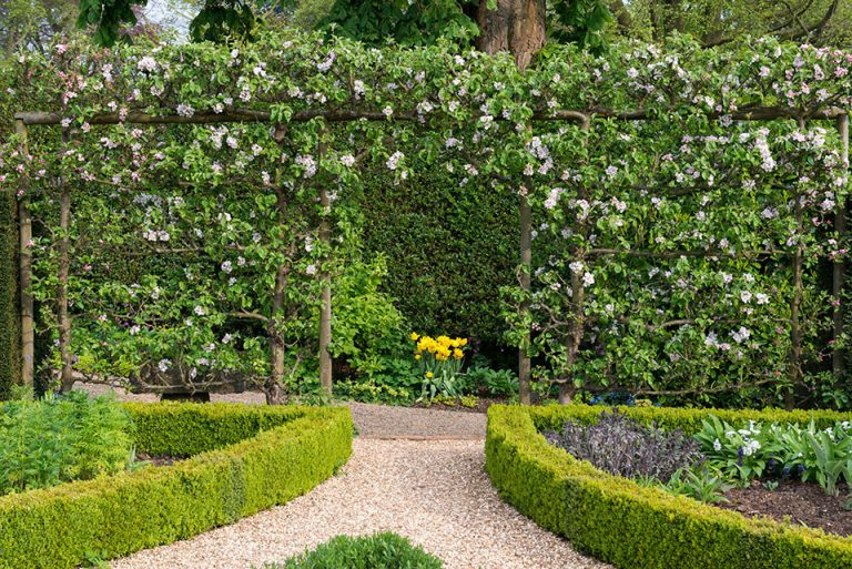 Espaliered apple trees, in blossom in spring.